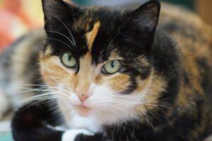 gatto a macchie di colore e occhi verdi