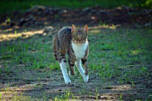 gatto corre in campagna