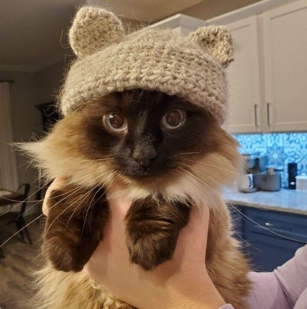 gatto cappello pelo