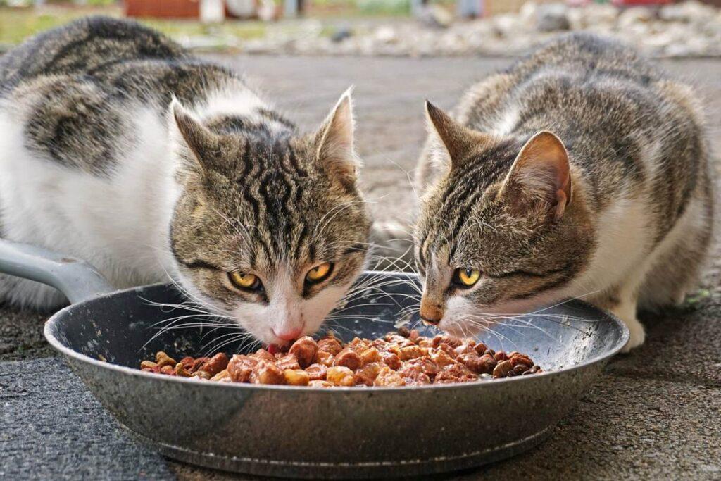 gatti che mangiano insieme