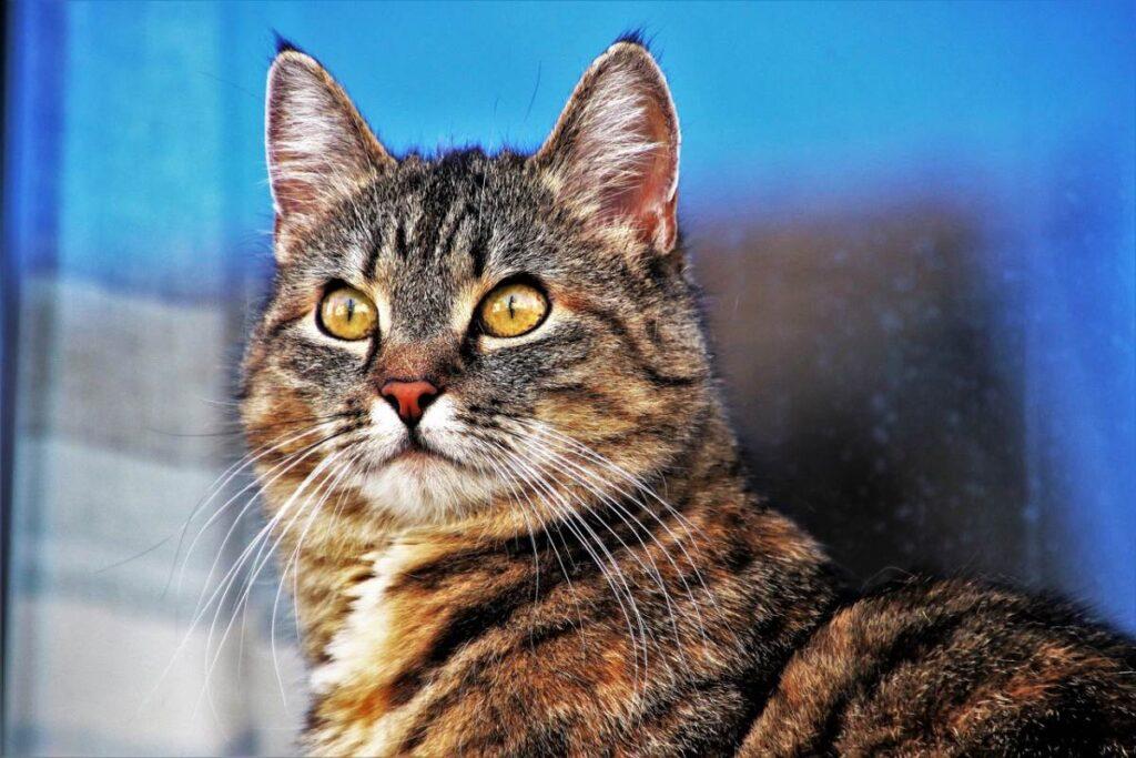 gatto su sfondo blu