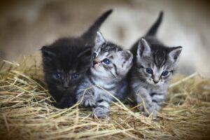 gattini grigi sulla paglia