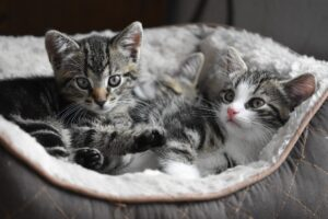 gattini grigi in un cesto