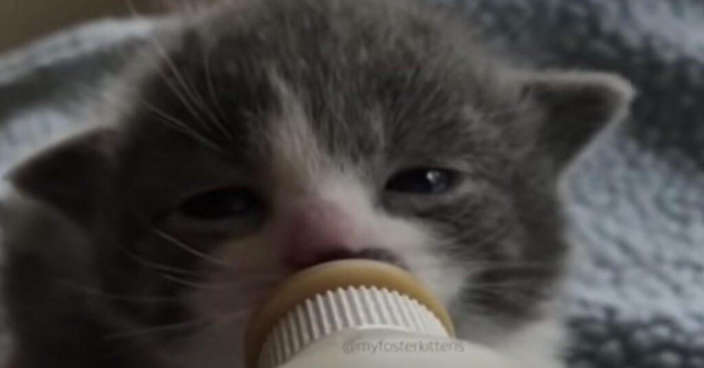gattino alimentato con biberon