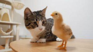 gattino bacia pulcino