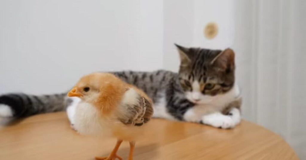 gattino curioso alla presenza del pulcino