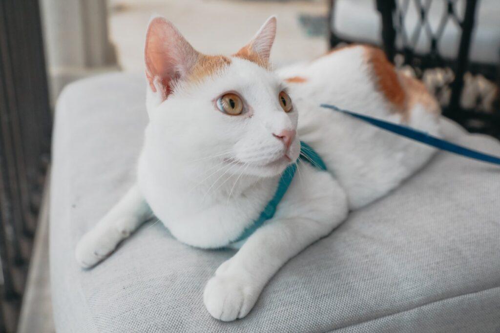 gattino a guinzaglio