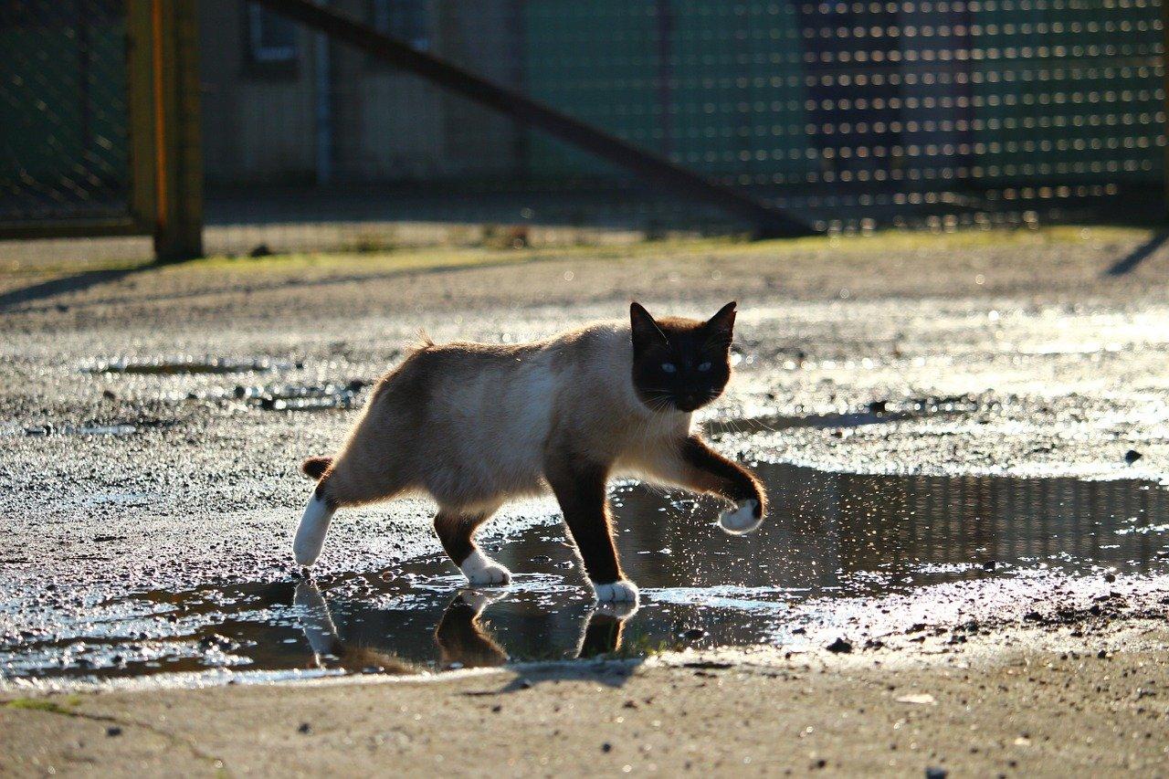 gatto nella pozzanghera