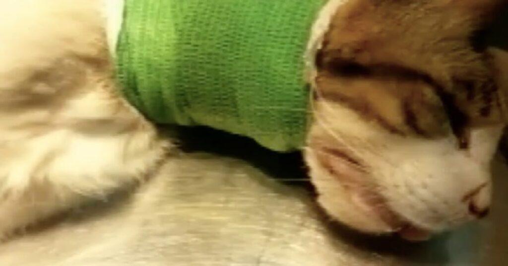 gatto fasciato sul collo