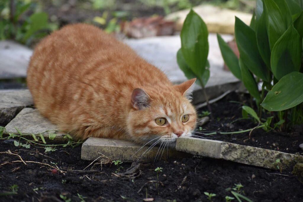 gatto arancione fa l'agguato