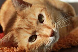 gatto arancione e tigrato