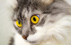 Gatto con gli occhi fissi