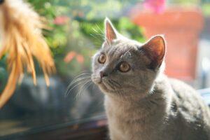 gatto grigio guarda una piuma
