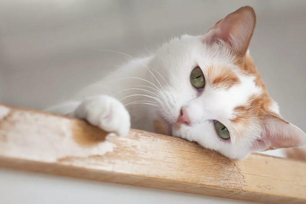 gatto debole