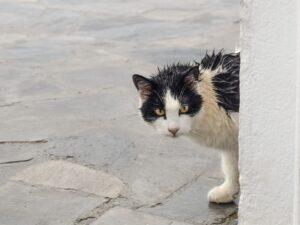 gatto bagnato bianco e nero