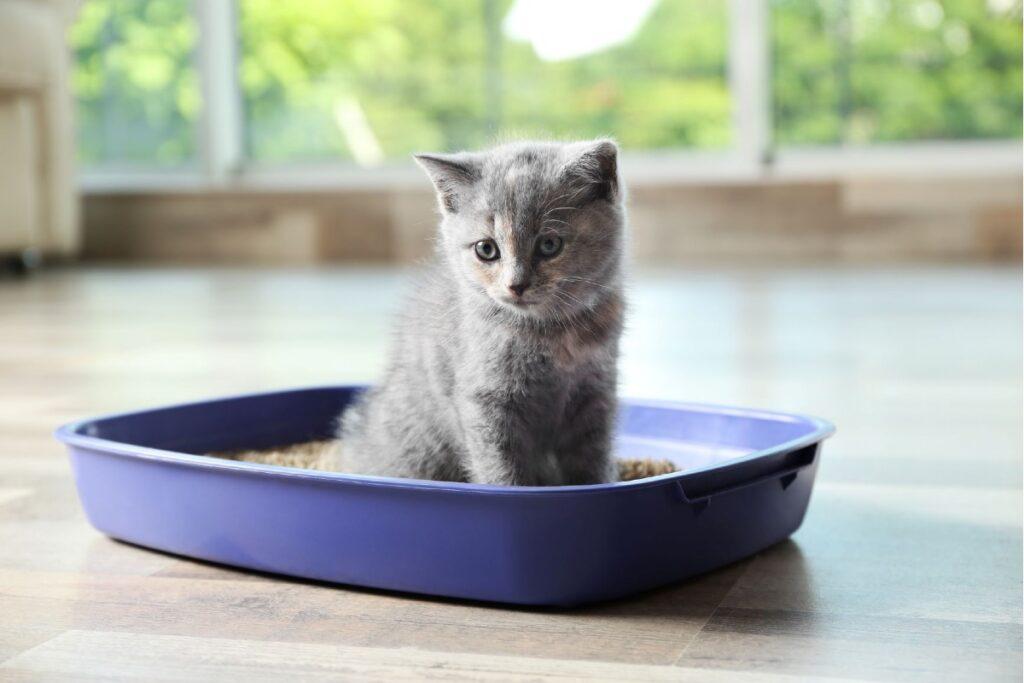 gattino nella lettiera