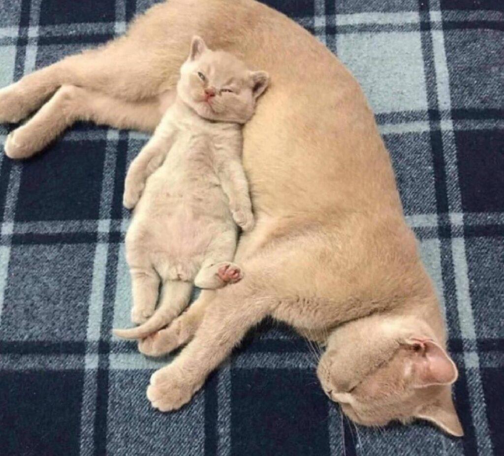 gatto rosso pancia mamma