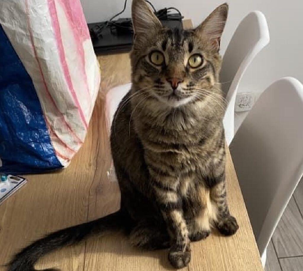 gatto soriano archie occhi verde oliva
