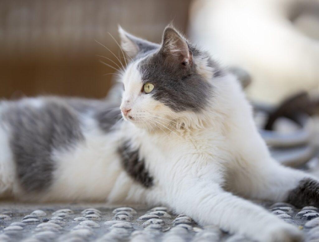 gatto attesa ritorno a casa