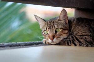 scomparso gatto archie scatta allarme