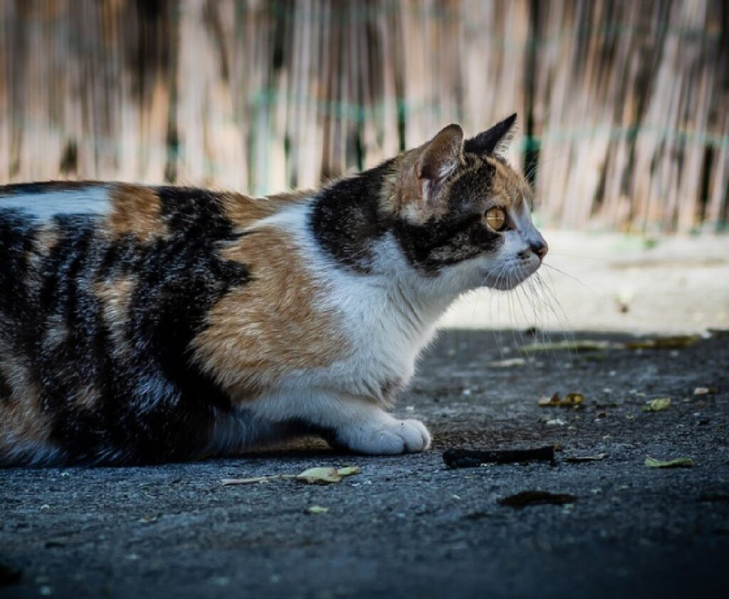 gatta calico sdraiata su terra