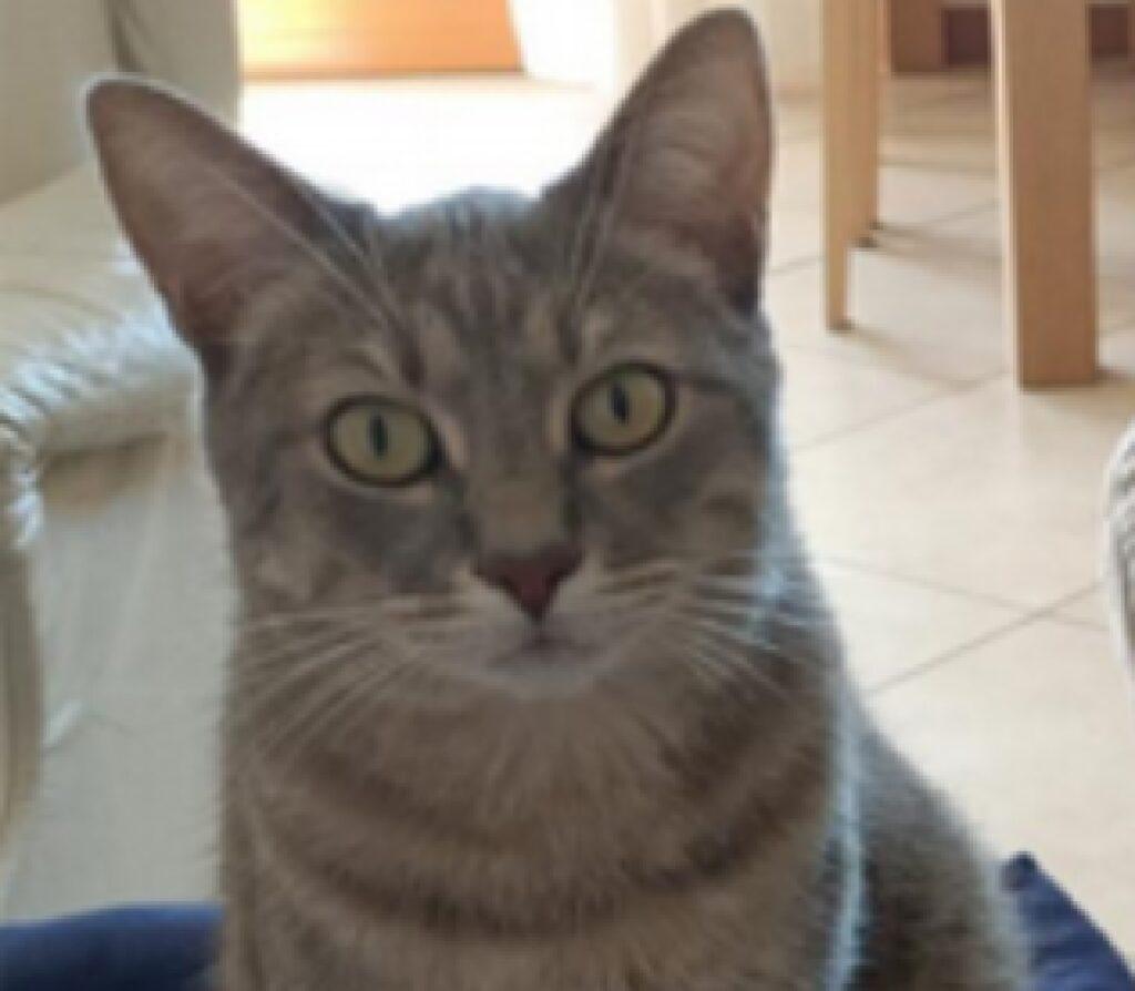gatto sguardo fisso fotocamera