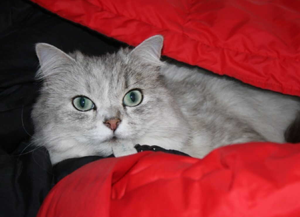 gatta sotto coperte pelo lungo