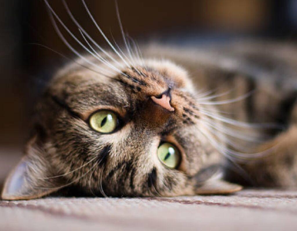 gatto soriano disteso sul pavimento