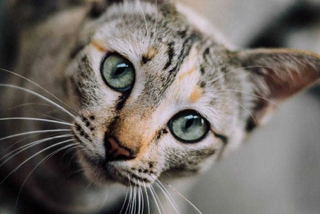 gatto occhi grandi primo piano