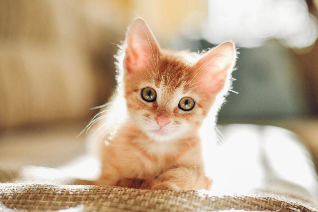cucciolo di gatto arancione