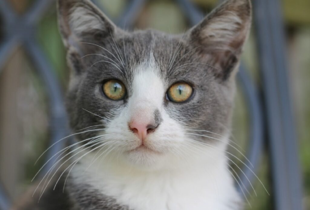 gatto davanti rete occhi gialli