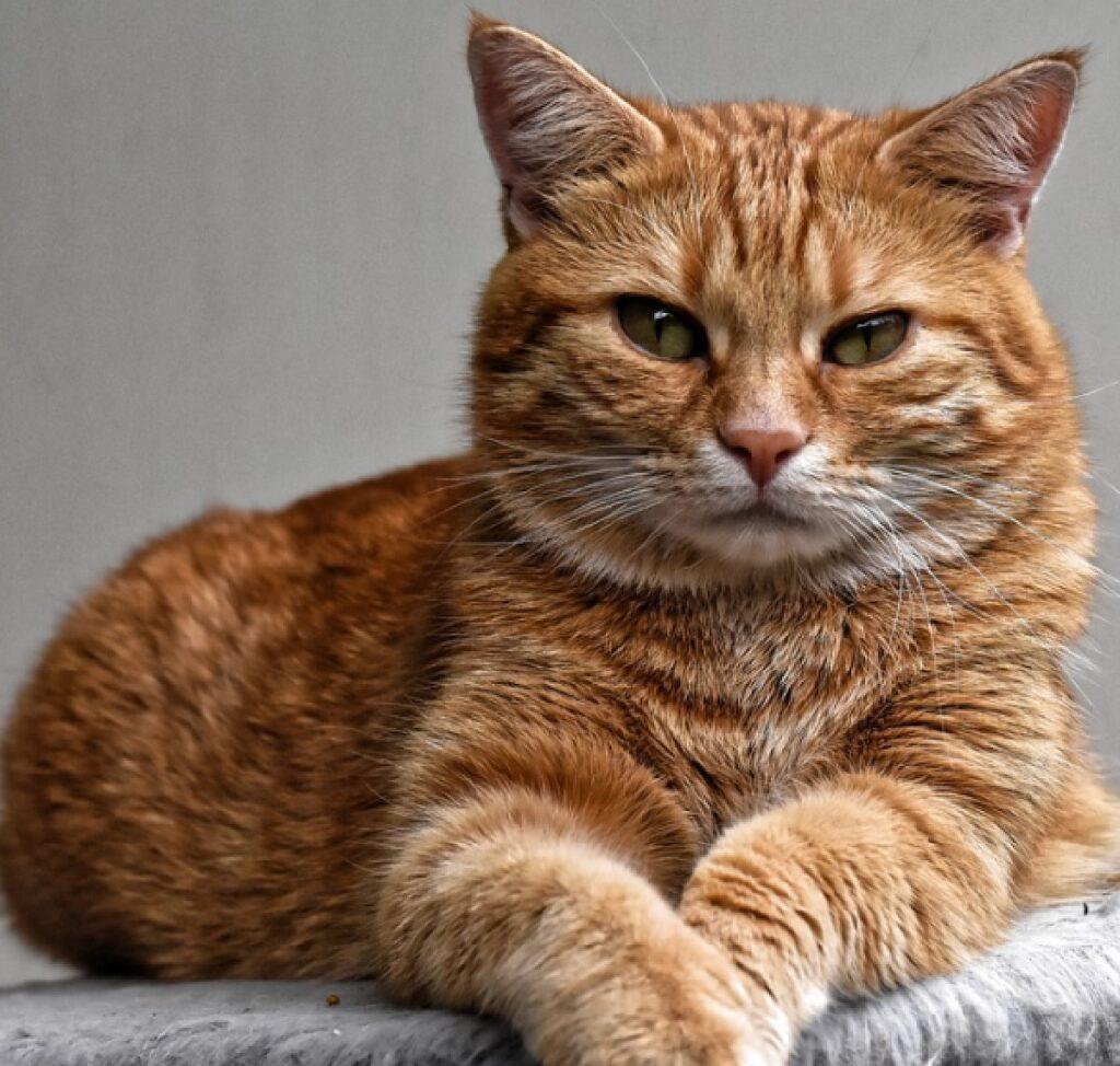 gatto rosso sfondo grigio