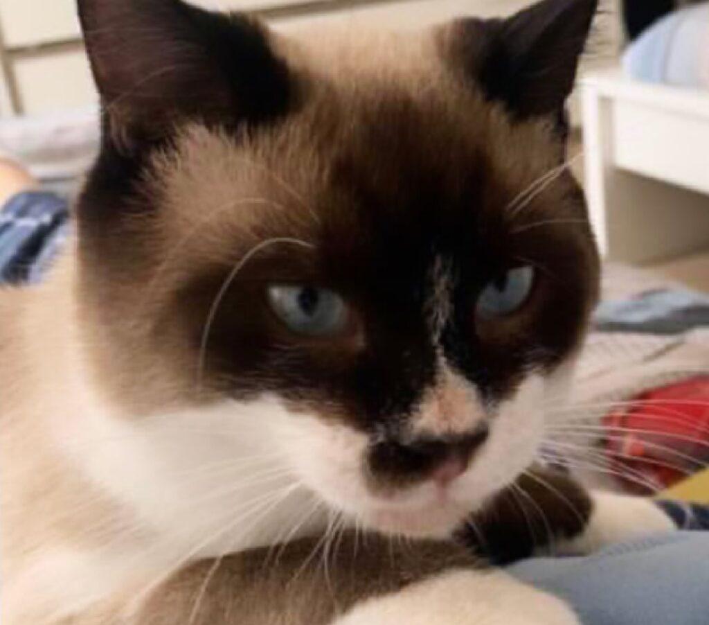 gatto siamese occhi azzurri accesi