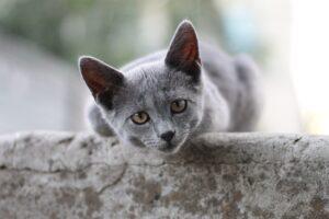 gattino grigio sopra a un muro