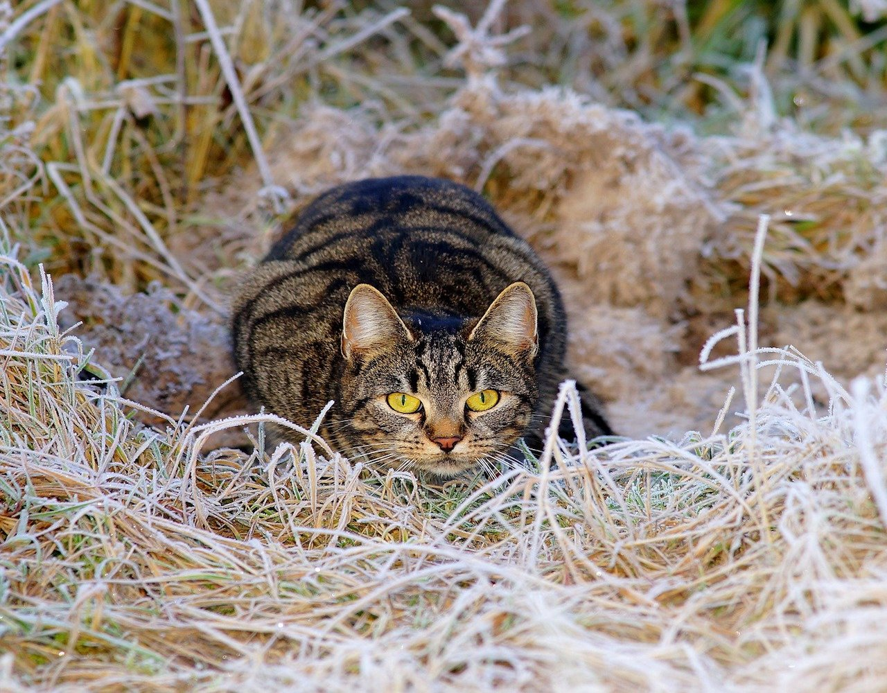 gatto si prepara per attaccare