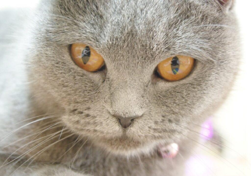 gatto darcy occhi arancioni