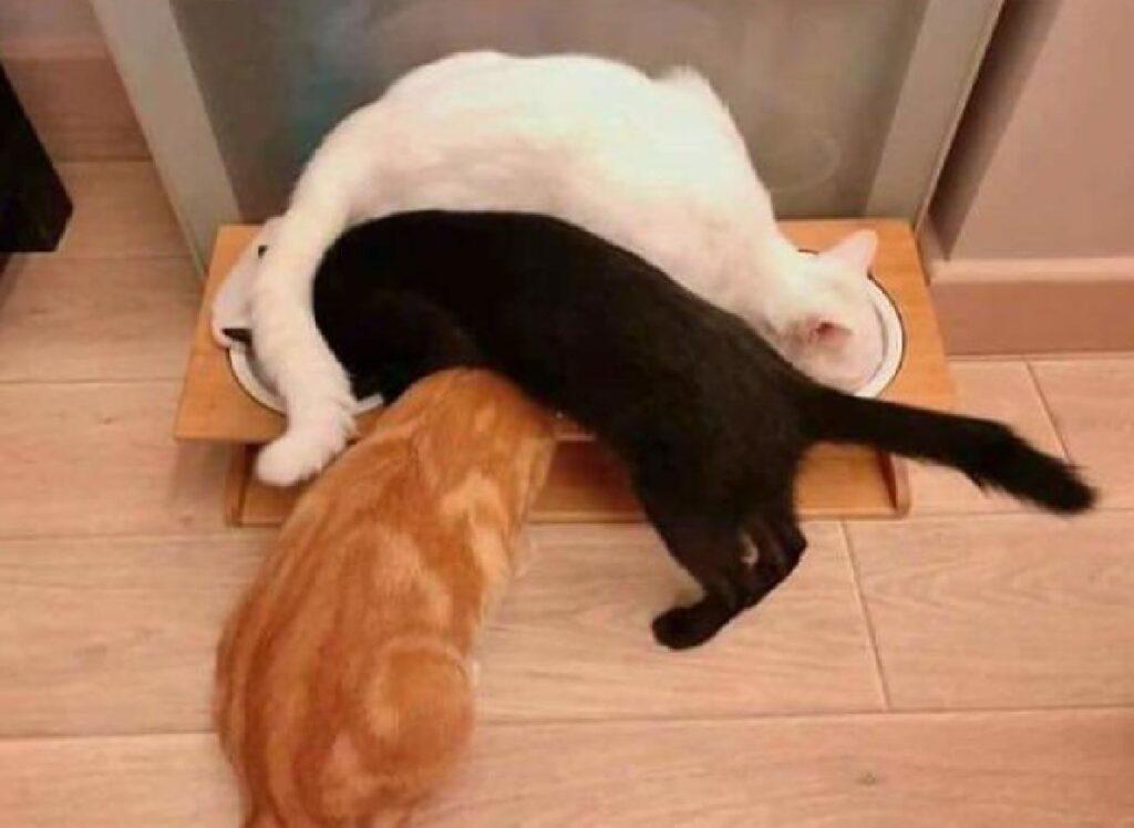 gatti vogliono mangiare ciotole