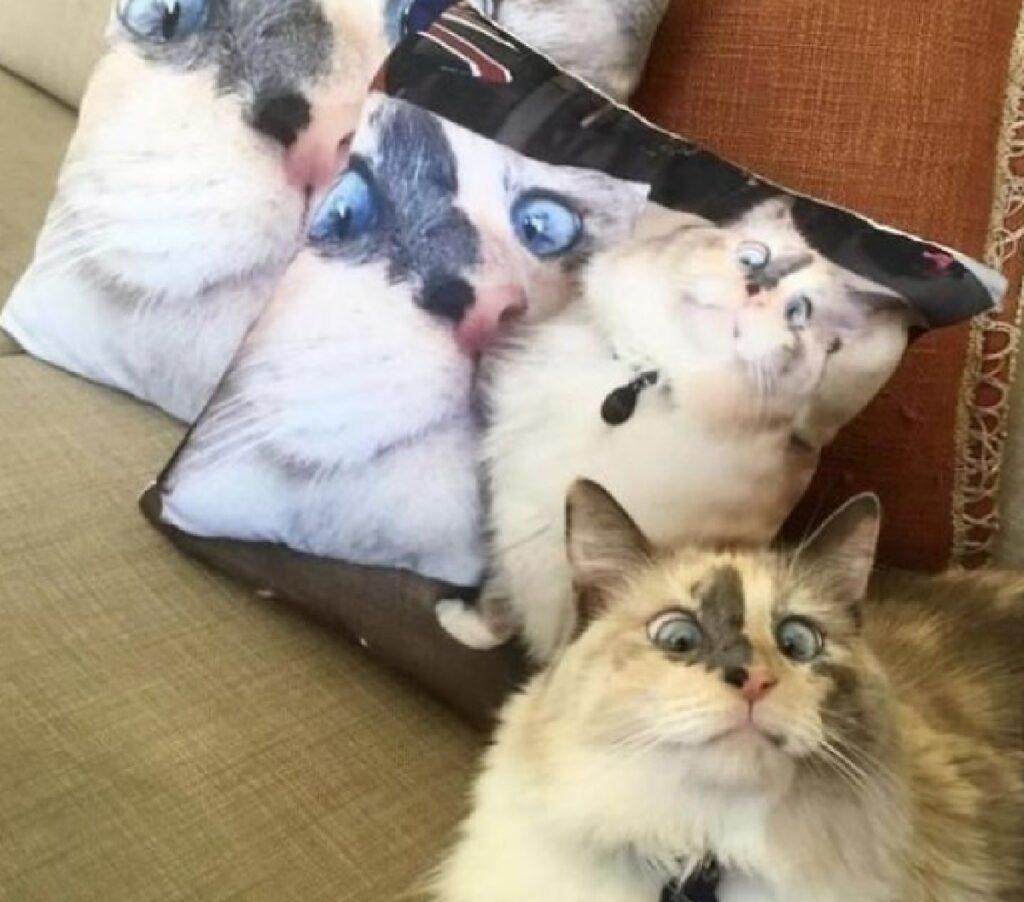 gatto cuscini espressione viso