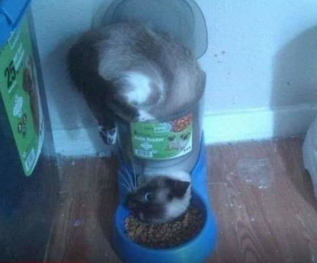 gatto aveva fame si infila tubo plastica
