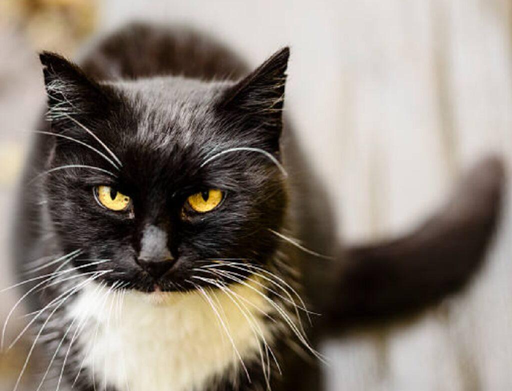 gatto bainco nero occhi penetranti