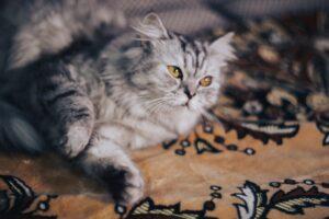 gatto persiano su un tappeto