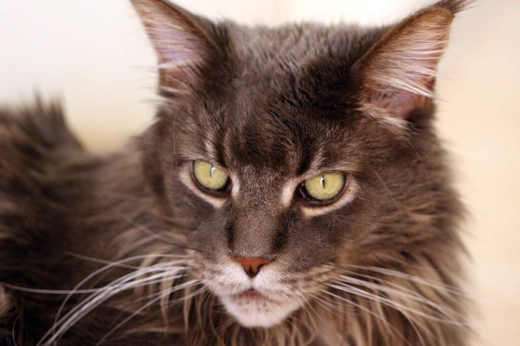 gatto maine coon scuro