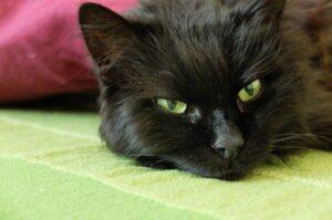 gatto nero che riposa