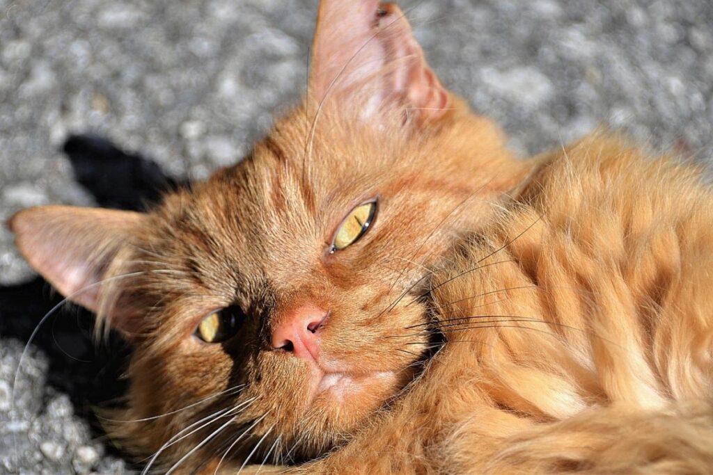 gatto rosso al sole