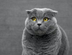 micio grigio peloso