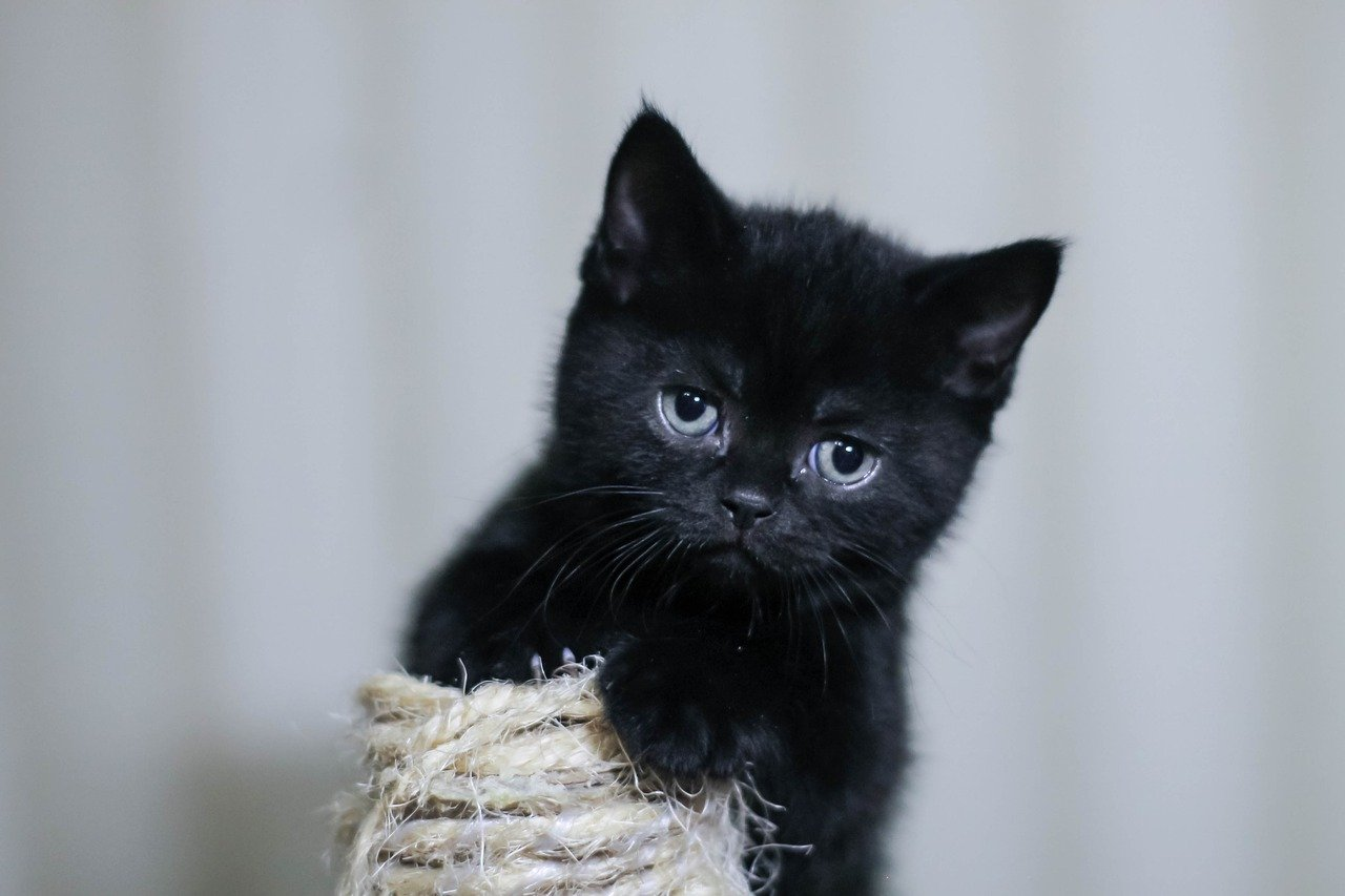 gattino pelo nero scuro