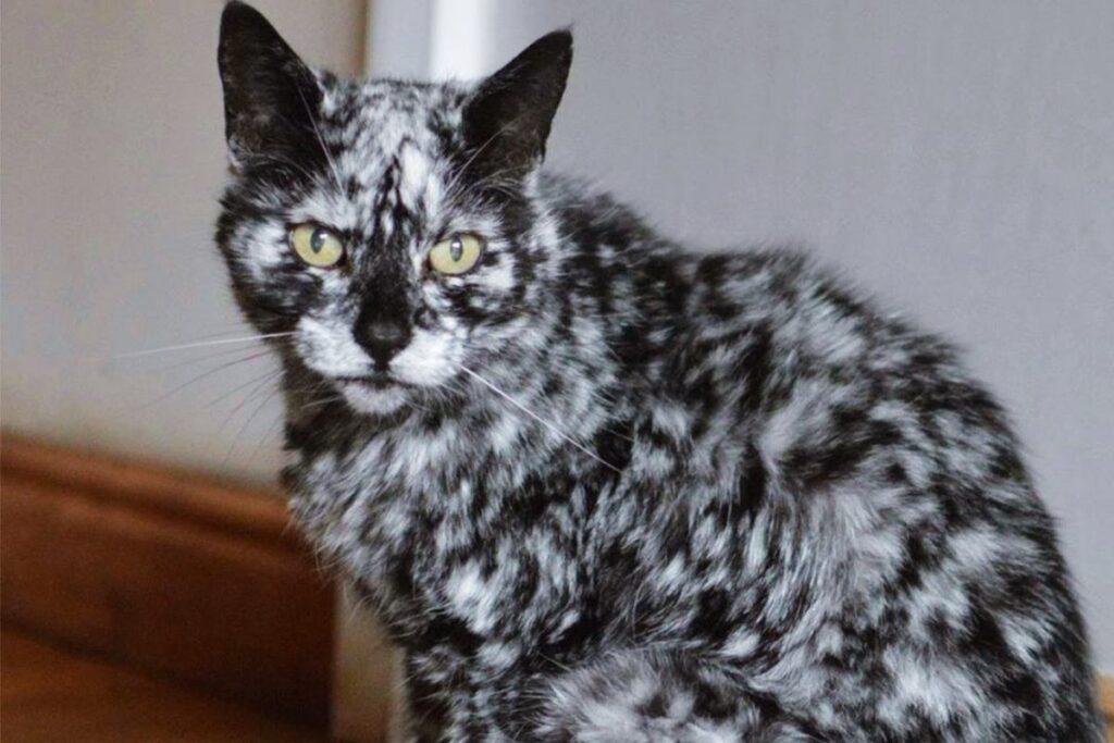 gatto con il pelo a macchie bianche