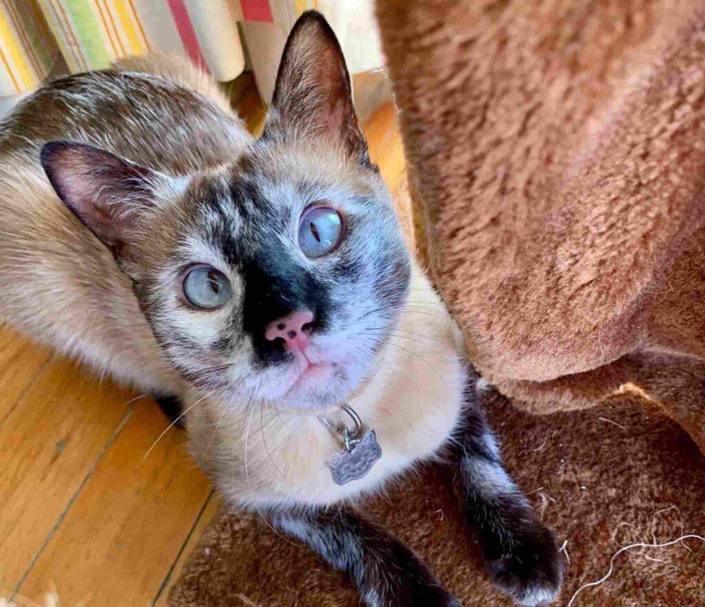 gatto siamese con il pelo scolorito