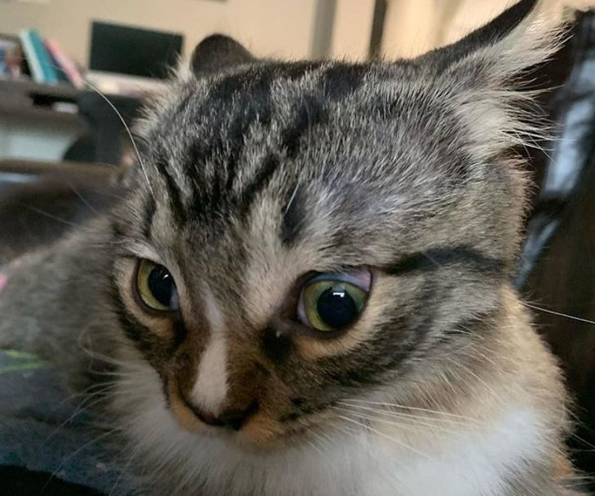 gatto orecchie