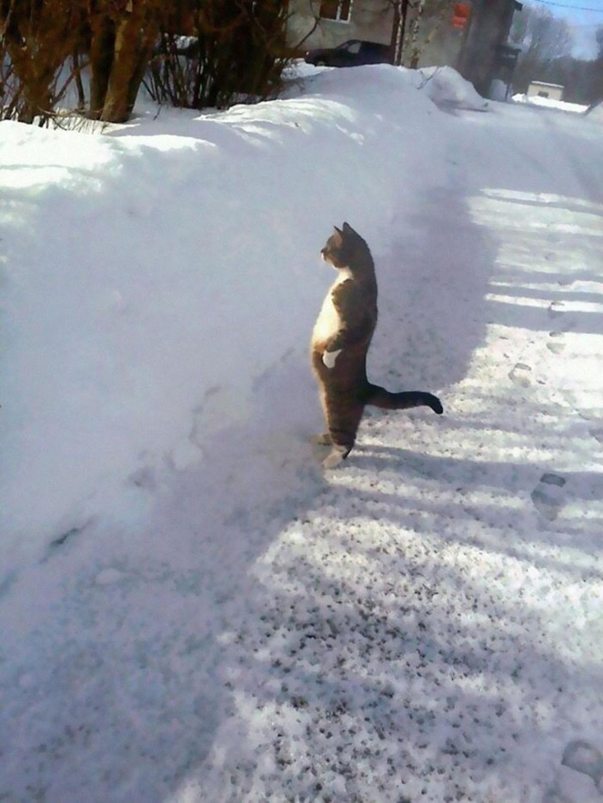 gatto neve